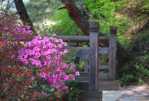 Azalia doniczkowa na pniu w ogrodzie