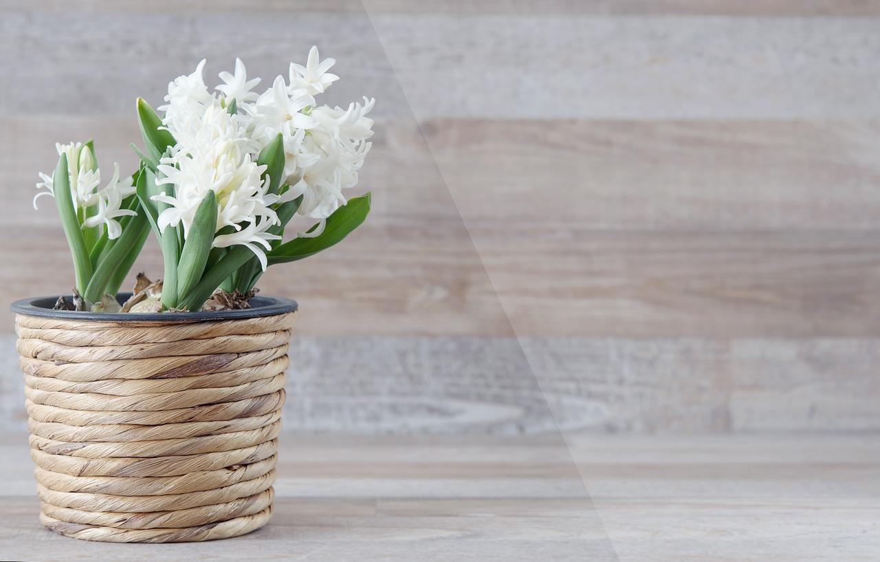 Hiacynt w doniczce – jak pielęgnować, uprawa hiacyntów w doniczce