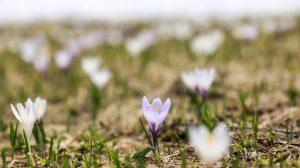 Kwiaty cebulowe - dlaczego warto je posadzić?